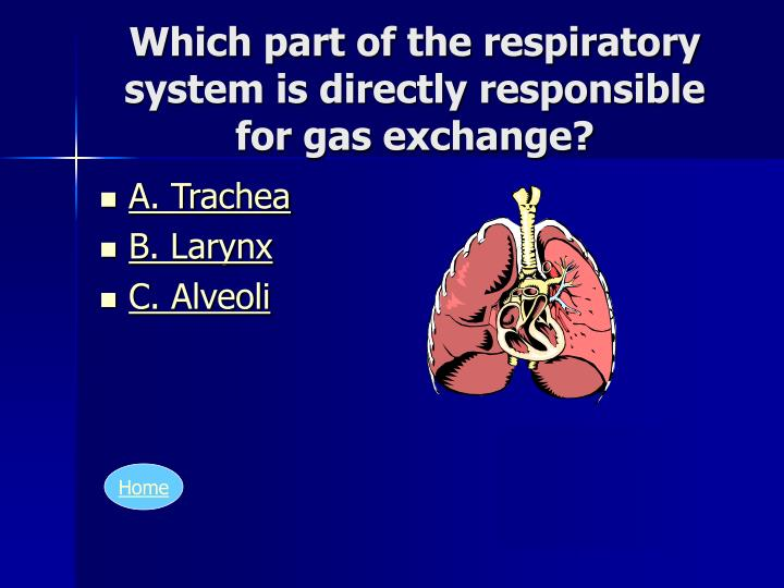 Which part of the respiratory system is directly responsible for gas exchange?