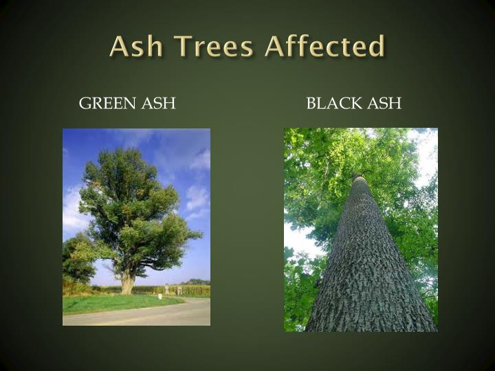 Ash Trees Affected