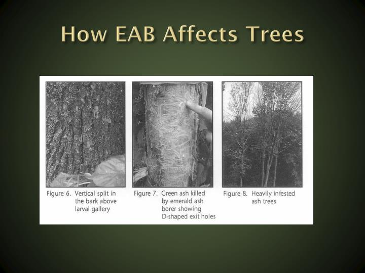 How EAB Affects Trees