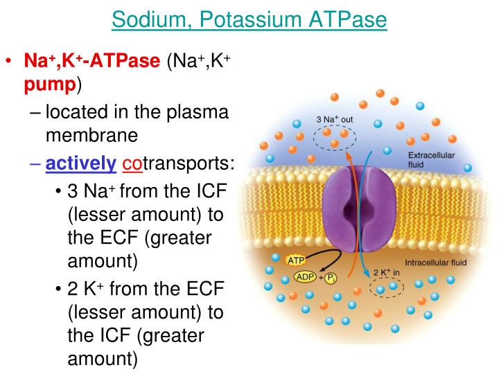 Sodium, Potassium ATPase