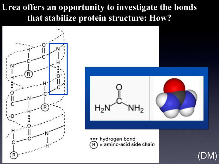 Urea offers an opportunity to investigate the bonds that stabilize protein structure: How?