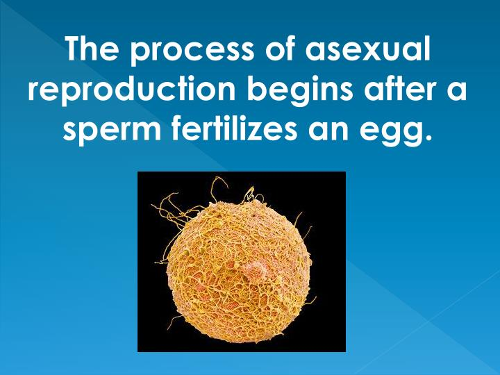 The process of asexual reproduction begins after a sperm fertilizes an egg.