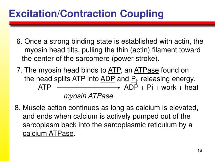 Excitation/Contraction Coupling