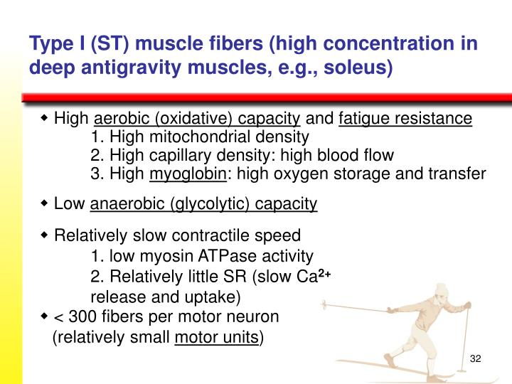 Type I (ST) muscle fibers (high concentration in deep antigravity muscles, e.g., soleus)