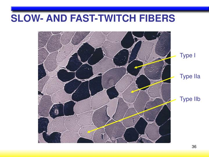 SLOW- AND FAST-TWITCH FIBERS