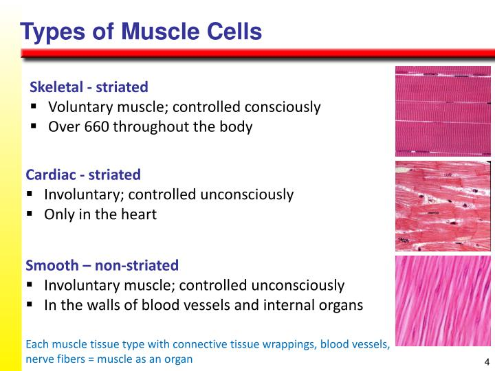 Types of Muscle Cells