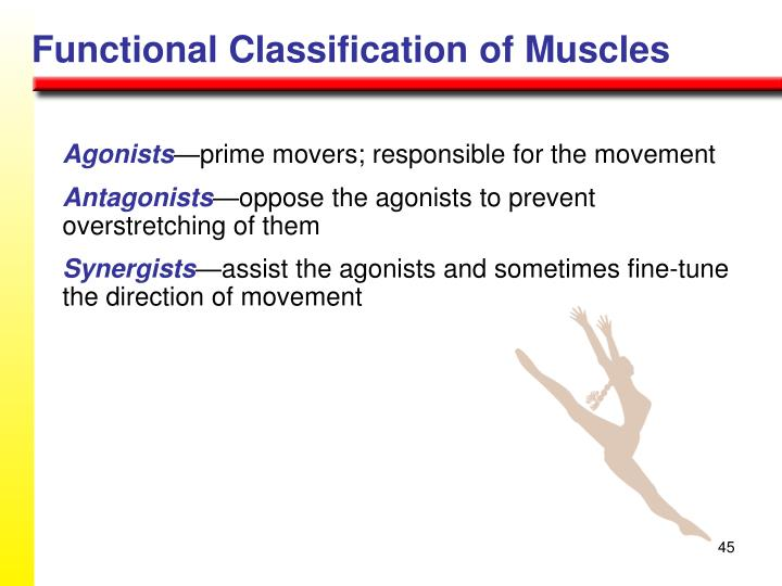 Functional Classification of Muscles