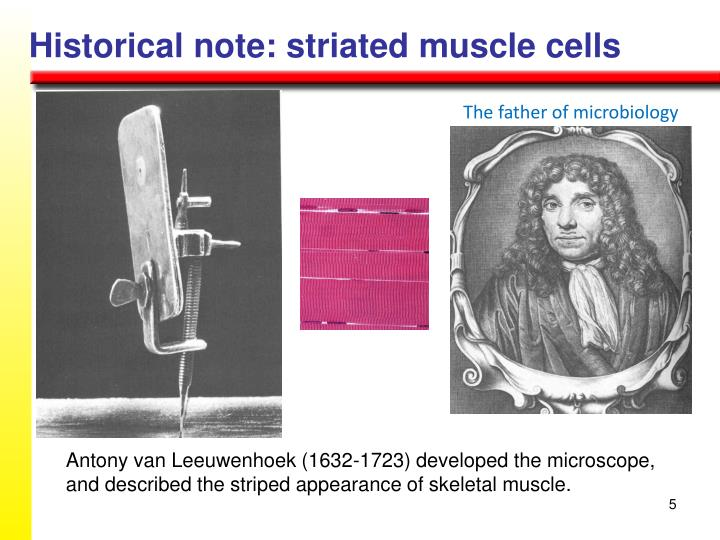 Historical note: striated muscle cells