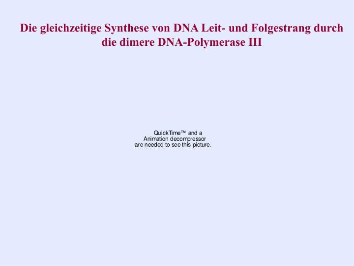 Die gleichzeitige Synthese von DNA Leit- und Folgestrang durch die dimere DNA-Polymerase III