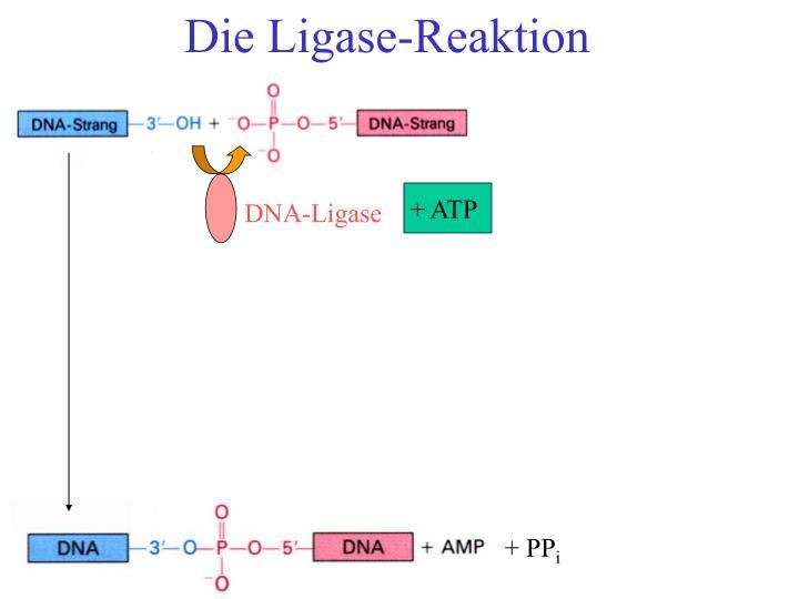 Die Ligase-Reaktion