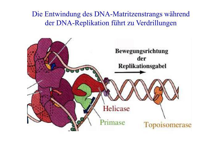Die Entwindung des DNA-Matritzenstrangs während