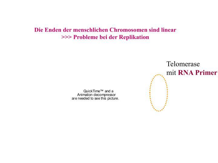 Die Enden der menschlichen Chromosomen sind linear