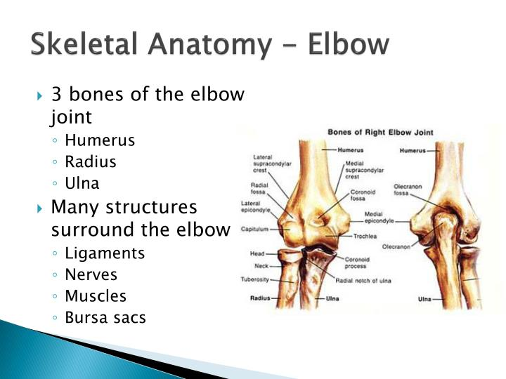 Skeletal anatomy elbow