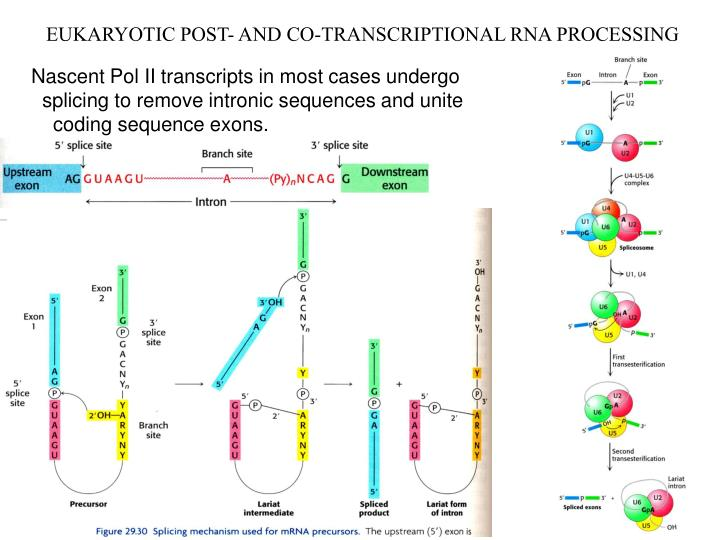 EUKARYOTIC POST- AND CO-TRANSCRIPTIONAL RNA PROCESSING