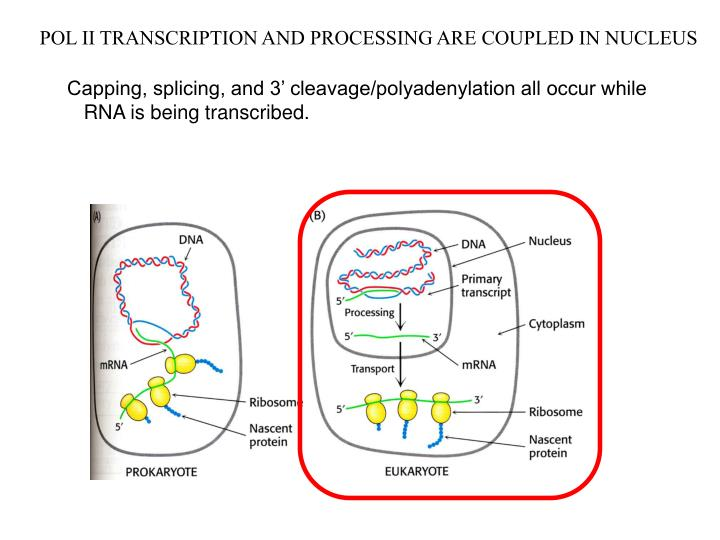 POL II TRANSCRIPTION AND PROCESSING ARE COUPLED IN NUCLEUS