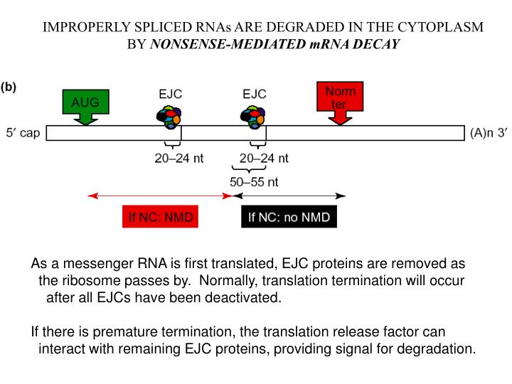 IMPROPERLY SPLICED RNAs ARE DEGRADED IN THE CYTOPLASM