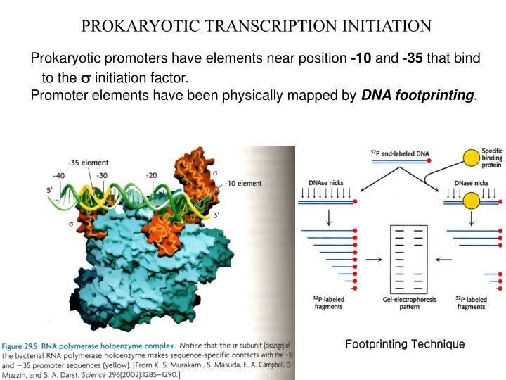 PROKARYOTIC TRANSCRIPTION INITIATION