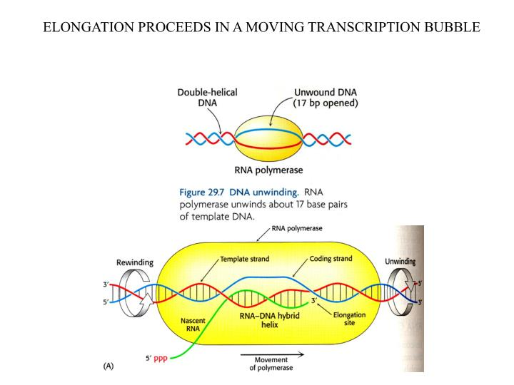 ELONGATION PROCEEDS IN A MOVING TRANSCRIPTION BUBBLE
