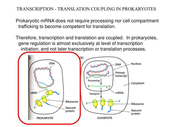 TRANSCRIPTION - TRANSLATION COUPLING IN PROKARYOTES