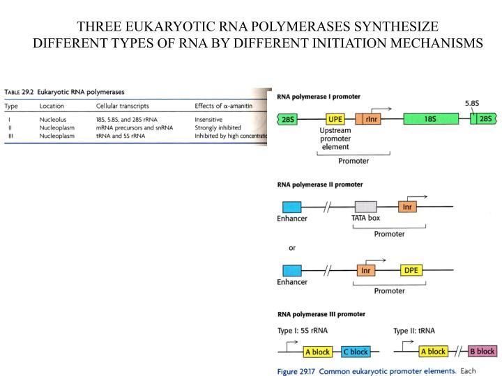 THREE EUKARYOTIC RNA POLYMERASES SYNTHESIZE