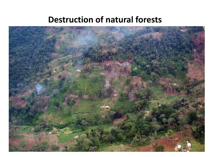 Destruction of natural forests
