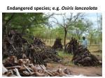 endangered species e g osiris lanceolata