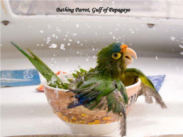 Bathing Parrot, Gulf of Papagayo