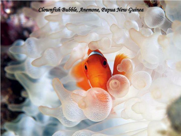 Clownfish Bubble, Anemone, Papua New Guinea
