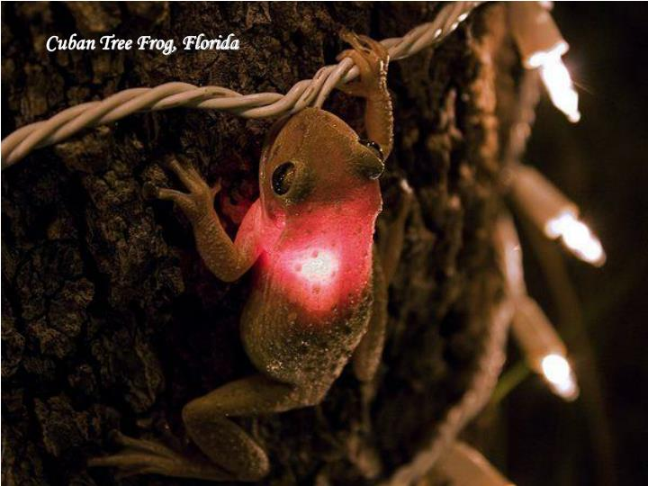 Cuban Tree Frog, Florida
