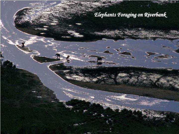 Elephants Foraging on Riverbank