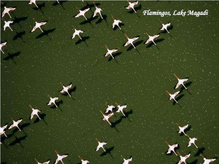 Flamingos, Lake Magadi