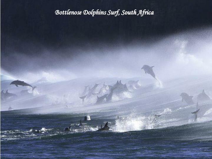 Bottlenose Dolphins Surf, South Africa