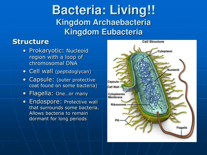Bacteria: Living!!
