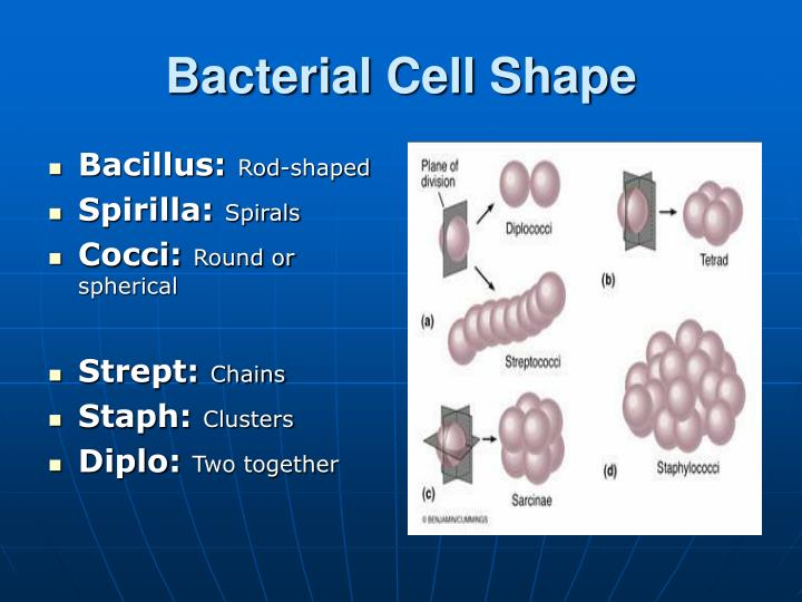 Bacterial Cell Shape