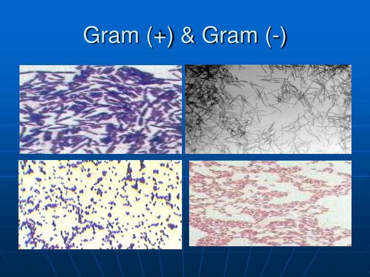 Gram (+) & Gram (-)
