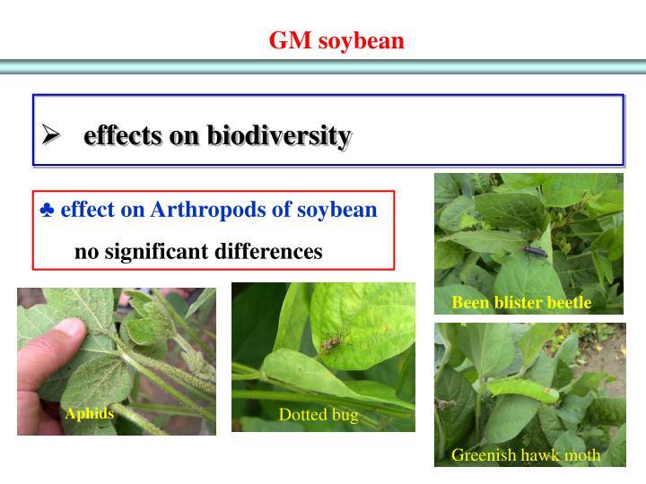 GM soybean