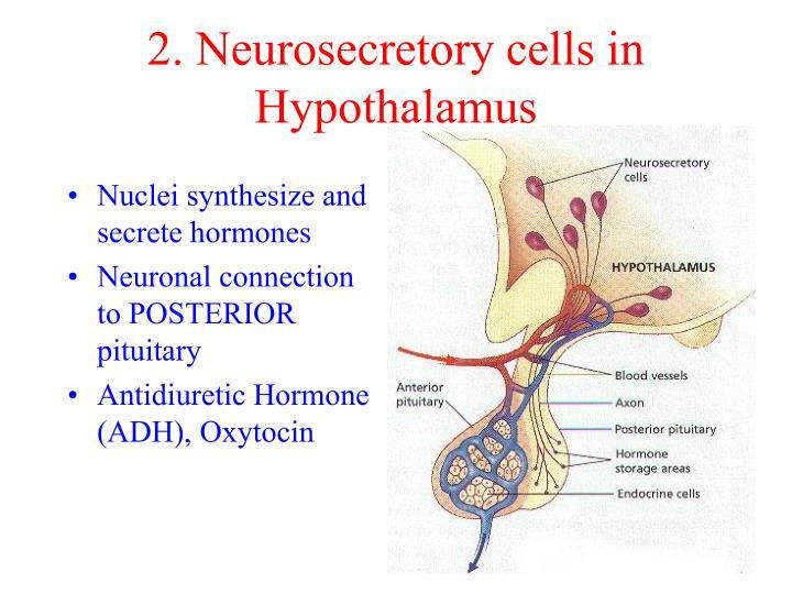 2. Neurosecretory cells in Hypothalamus