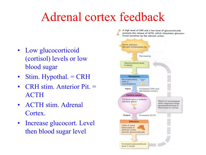 Adrenal cortex feedback