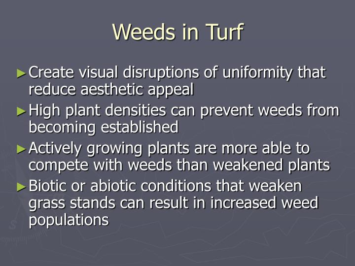 Weeds in turf