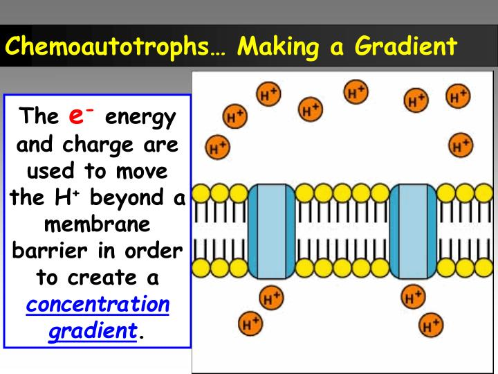 Chemoautotrophs… Making a Gradient