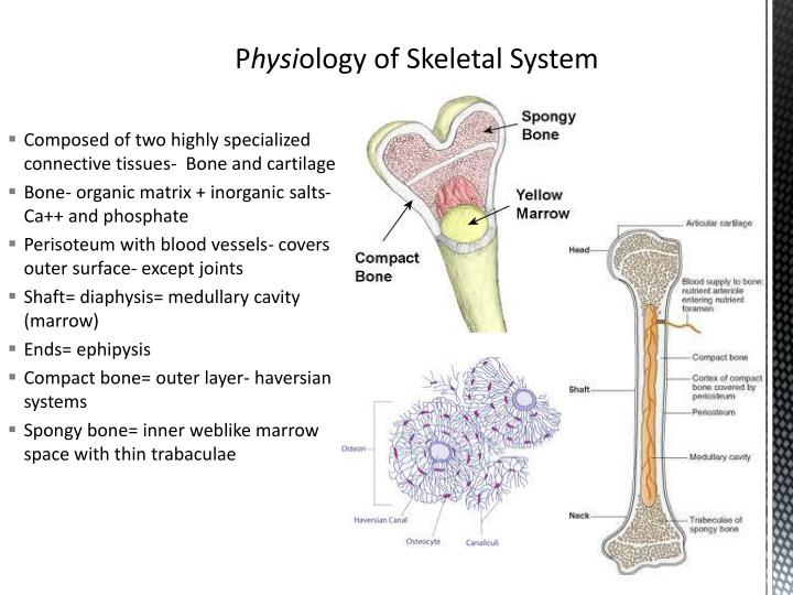 Composed of two highly specialized connective tissues-  Bone and cartilage