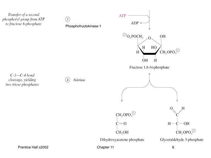 Phosphofructokinase-1