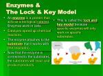 enzymes the lock key model