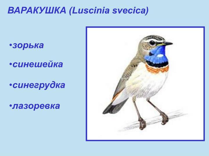 ВАРАКУШКА (Luscinia svecica)