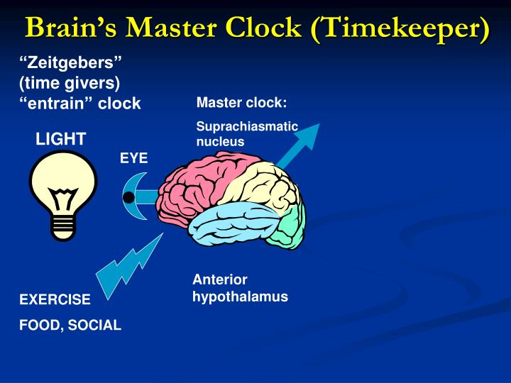 Brain's Master Clock (Timekeeper)