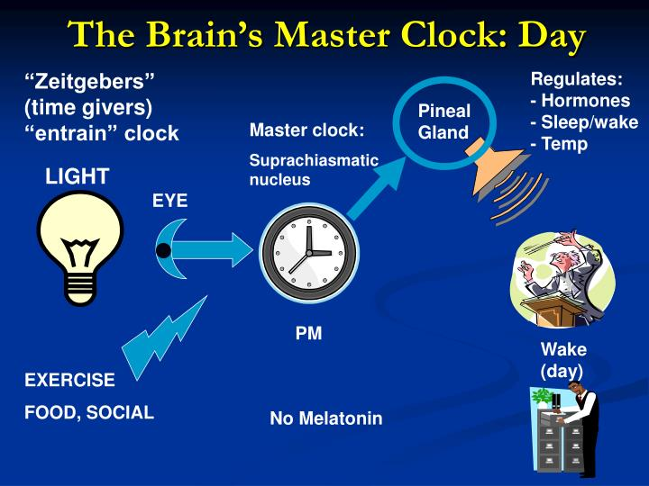 The Brain's Master Clock: Day
