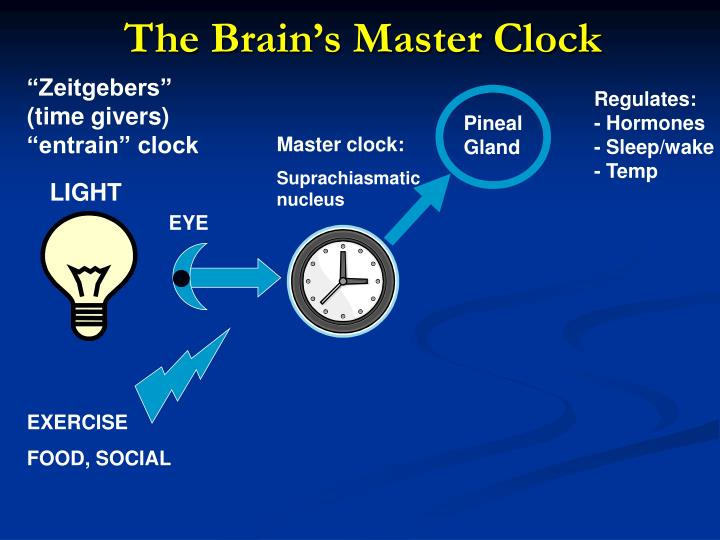 The Brain's Master Clock