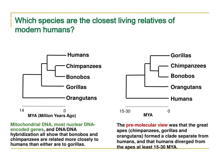 Which species are the closest living relatives of modern humans?