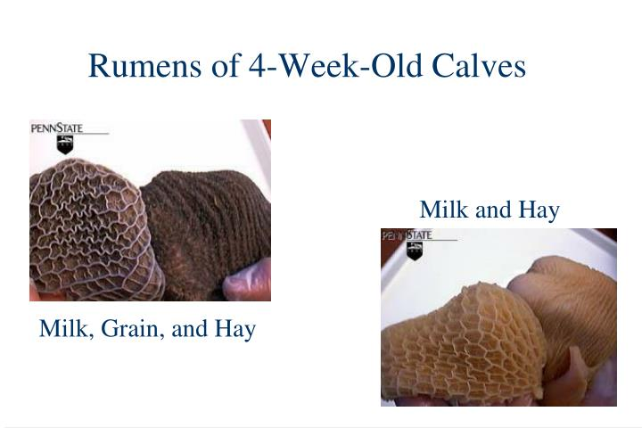Rumens of 4-Week-Old Calves