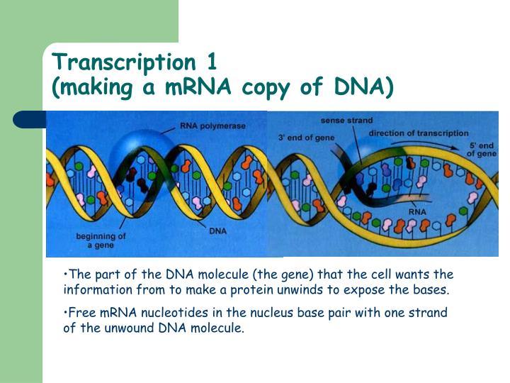 Transcription 1